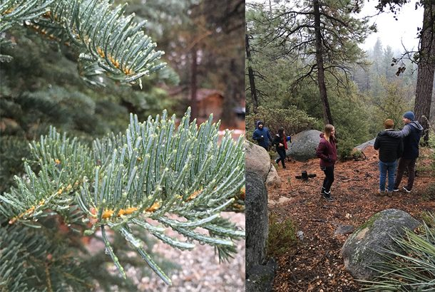 idyllwild-ca-pine