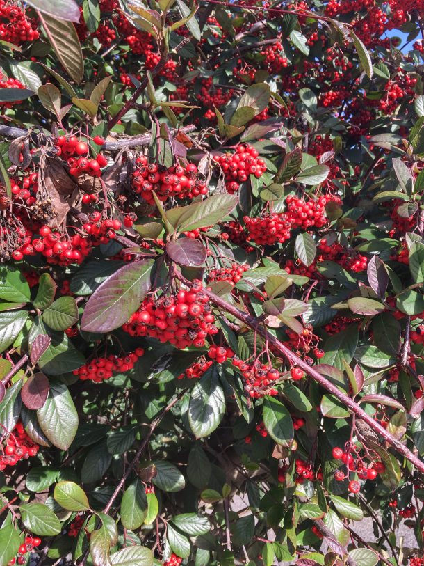 Red pyracantha